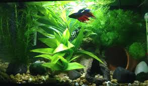 Spongebob Aquarium Decor Amazon by Spiffy Pet Products Betta Fish Tank Setup Ideas That Make A