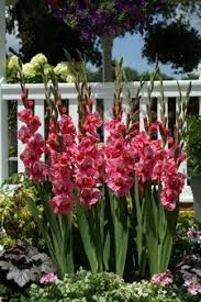 passos gladiolus bulbs sweet sword pretty gladioli