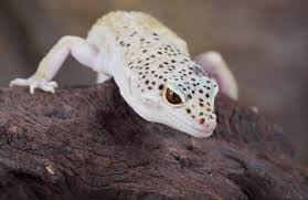 Do Leopard Geckos Shed by Geckos Life Span Habitat Food Size Caging And Interesting Facts