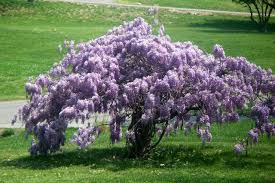 planting wisteria in a pot wisterias plant care and collection of varieties garden org
