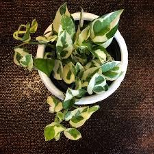 Cheap Big Indoor Plants Find Big Indoor Plants Deals On Line At