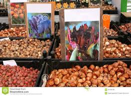 tulip bulbs at the singel flower market in amsterdam netherlands