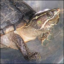 common health problems in turtles and terrapins insectivore