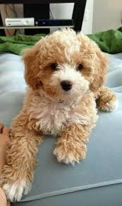 do cavapoos shed a lot best 25 cavapoo ideas on cavapoo puppies cockapoo