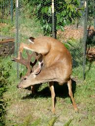 Whitetail Deer Shedding Velvet by The Stories Keep Coming Yoga By Fran Galloyoga By Fran Gallo