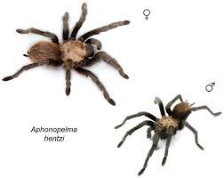 100 Tarantula Trucks Taxonomic Revision Of The Tarantula Genus Aphonopelma Pocock 1901