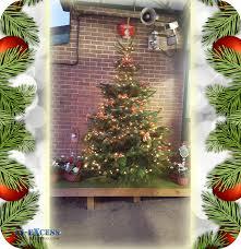 Nordmann Fir Christmas Tree Nj by Real Christmas Tree Photos 6ft Frasier Grande Fir Feel Real