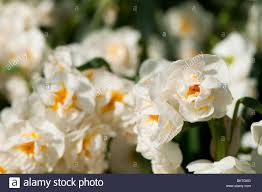 daffodil narcissus bridal crown in flower stock photo royalty