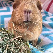 Can Guinea Pigs Eat Pumpkin Seeds by Squidgypigs U2013 Guineapigs Product Reviews U2013 Nature U0027s Own Timothy