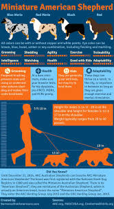 Blue Heeler Mix Shedding by Best 25 Australian Shepherd Puppies Ideas On Pinterest Blue