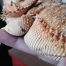 soft scales help bearded org