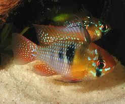 poisson eau douce aquarium tropical les 25 meilleures idées de la catégorie aquarium tropical sur