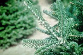 Balsam Christmas Tree Care by Tips For Fresh Cut Christmas Tree Selection And Care Hoosier