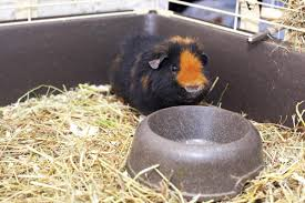 Pine Bedding For Guinea Pigs by Everything You Ever Wanted To Know About Guinea Pig Habitat