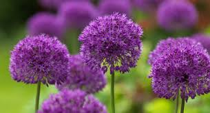 buy allium hollandicum purple sensation