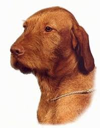 Vizsla Shedding Puppy Coat by Wirehaired Vizsla Dog Breed Information And Pictures