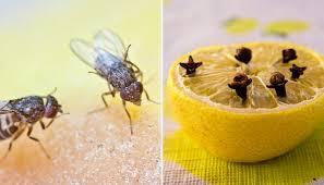 fruchtfliegen was tun diese mittel helfen gegen fruchtfliegen