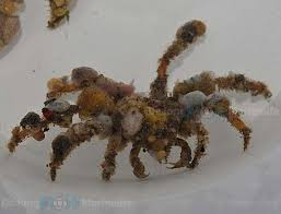 decorator crabs eat fish decorator crabs eat fish 55 images where to eat during
