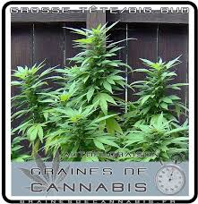 recolte cannabis exterieur date graines de cannabis autofloraison pour l extérieur