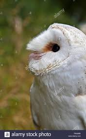 Perched Barn Owl Tyto Alba, Also Known As The Screech Owl, Looking ... White Screech Owl Illustration Lachina Bbc Two Autumnwatch Sleepy Barn Owl Yoga Bird Feeder Feast And Barn Wikipedia Attractions In Cornwall Sanctuary Wishart Studios Red Eastern By Ryangallagherart On Deviantart Owlingcom Biology Birding Buddies 2000 Best 2 Especially Images Pinterest Screeching Youtube