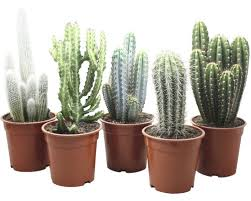 kaktus floraself cactus h 17 20 cm ø 17 cm topf zufällige sortenauswahl