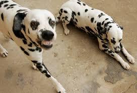Why Dalmatians Are A Train Wreck