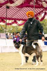 Do Akitas Shed Bad by Akita Dog Breed Information Dogspot In