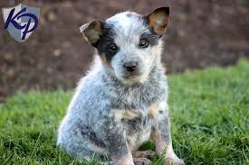 Blue Heeler Mix Shedding by Blue Heeler Puppies For Sale Health Guaranteed Keystone Puppies