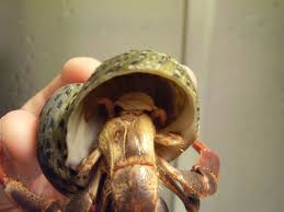 Do Hermit Crabs Shed Shell by Hermit Crab Molt