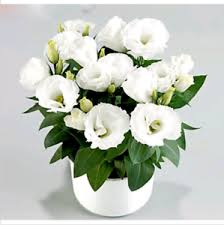 Image Is Loading White Eustoma Seeds Perennial Flowering Plants Balcony Potted