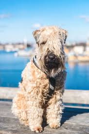 Do Irish Wheaten Terriers Shed by The 21 Best Images About Want On Pinterest Toaster Spanish