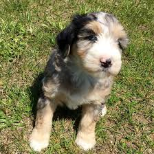 Do Miniature Aussiedoodle Shed by Blue Merle Aussiedoodle Puppy Love Pinterest Blue Merle