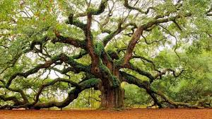 Different Species Of Oak Trees Areas They Grow