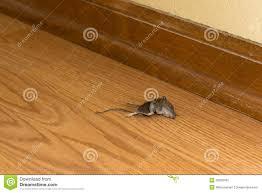 rongeur mort de souris dans la chambre ou la maison vermine