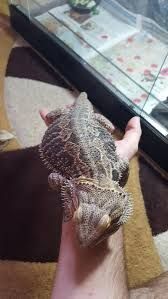 Bearded Dragon Shedding A Lot by Baby Bearded Dragon Sheds Skin One Month Old U2022 Bearded Dragon Org
