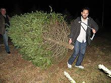 Nordmann Fir Christmas Tree Nj by Christmas Tree Cultivation Wikipedia