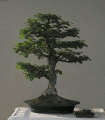 pot bonsai grande taille hêtre evolution de vos projets forums parlons bonsai