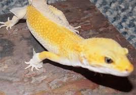 Crested Gecko Shedding Behavior by My Gecko Didn U0027t Shed Properly Hubpages