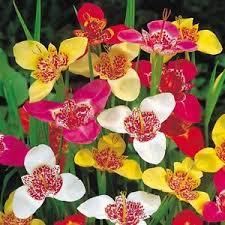 12 x tigridia pavonia tiger flower perennial garden plant