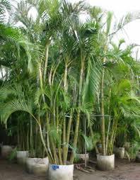 golden palm in pots plants flowers palm