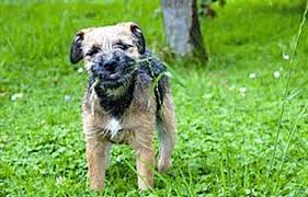 Border Terrier Non Shedding by Border Terrier Hunting Dog That Is Close To Its Roots Black Dog