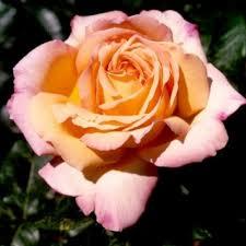 Knollwood Garden Center and Landscaping Rose Bushes