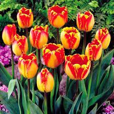 tulip darwin hybrid banja luka 10 flower bulbs buy order now
