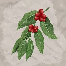 Coffee Plant Clipart Berry