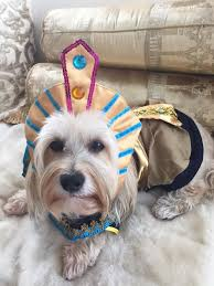 Old Westbury Gardens Dog Halloween by King Mutt Halloween Dog Costume With Same Day Shipping Baxterboo