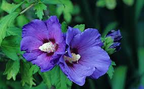 Fertilizer For Pumpkins Uk by How To Grow Hibiscus The Telegraph