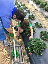 Ms Heathers Pumpkin Patch Louisiana by Strawberry Picking At Mrs Heather U0027s A Review Northshore Parent