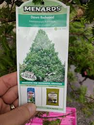 Menards Christmas Tree Stands by New Dawn Redwood Tree Destined For Our Backyard