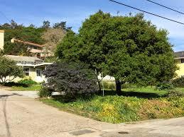 Best Christmas Tree Farms Santa Cruz by Trees Of Santa Cruz County Quercus Wislizeni Interior Live Oak