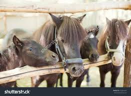 Purebred Horses Barn Door Stock Photo 572367547 - Shutterstock Just Horses In The Barn Horse Portraits Treading George Washingtons Mount Vernon How Your Horse Learns By Watching You Owners Resource In A Painted Petcustom Pet Patings Two Cadian And Snow Weather Stock Video Footage East Bay Real Estate The West Side Story Barns For Miniature Small Horizon Structures Cooling Horses Archives Windmill Ceiling Fans Offtopic Monday Photos Peace Love Fostering Arabian Stable Looking Over The Barn Door Nice Using Premise Sprays To Protect Absorbine